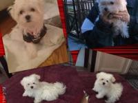 Teddy bear face Maltese puppy for rehoming. 3 months