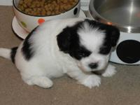 TeddyBear mix puppies, 2 males and 1 female. 1 male