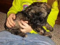 Two cute male Teddy bear young puppies, really lively