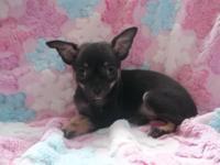 AKC female Chihuahua puppy. $550.00. Born 9/8/14. vet