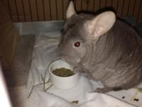 Teeny is an 8 y/o female (chins live 15-20+ years). She