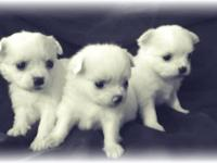 BEAUTIFUL TEENY TEACUP FEMALES LOOKING FOR AMAZING