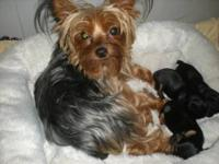 WOW! These little babies are true Teacup Yorkies. Mommy