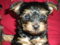 These little babies are true Teacup Yorkies. Mommy and