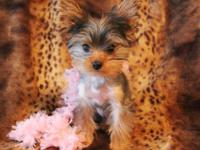 Teeny Tiny 2 pound 4 ounce Yorkie girl with FULL AKC