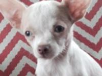 Tiny teacup female chihuahua named flower shots to date