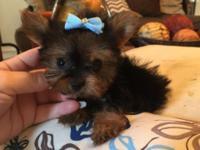 Super cute, teddy bear face Yorkie baby! Darling