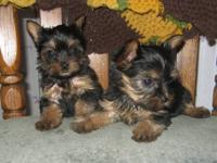 Teeny Tiny little Yorkie puppies. 4 girls and 2 boys.