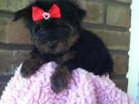 Yorkie female awesome hair baby doll face beauties