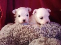 Mom Teke is a AKC 41/2 lbs Maltese & & Daddy Taz-a-man