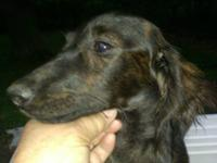 Ten month old, mini male longhair dachshund, red