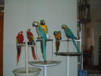 blue and gold macaws ,  scarlet macaws,
