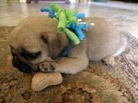 Animal Type: Dogs Tender and romantic pug for you and