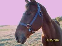 BC is 15.3h . He is a 9yr. old chestnut gelding. .He