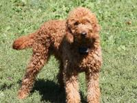We will be breeding Tenley & Diego early 2013. Reds -