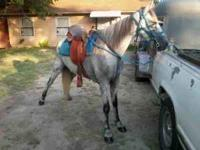 Evening CL'ers For sale is a 7yr old Registered TWH
