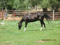 Tennessee Walker - Apollo - Extra Large - Adult - Male