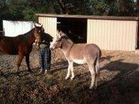 Tennessee Walker - Elvis - Large - Young - Male -