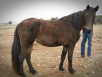 Tennessee Walker - Ginger - Large - Adult - Female -