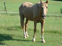 Tennessee Walker - King Tutt - Large - Adult - Male -