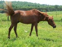 Tennessee Walker - Reddy - Medium - Adult - Male -