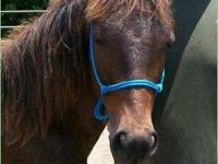 Tennessee Walker - Rusty - Large - Young - Male -