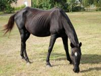 Tennessee Walker - Sapphire - Medium - Adult - Female -
