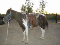 Hello! I am selling an 11 year old Tennessee Walker