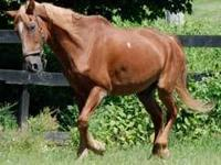 Tennessee Walker - Thunder - Medium - Senior - Female -
