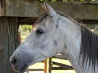 Tennessee Walker - Velvet - Medium - Young - Female -