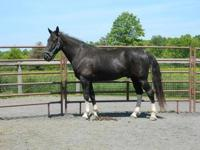 Tennessee Walker - Woody - Large - Adult - Male -