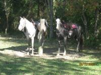 15.1 hands or a little better. Grey Roan, can show or