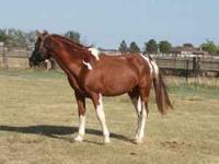Registered TWH chestnut roan tobiano stallion Proven