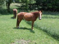 1 Mare. She is TWHBEA registered 11 yrs old. Sorrel