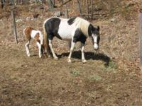 Tennessee Walker - Annie - Large - Adult - Female -