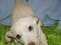 Terrier - 21150 Lacey - Small - Baby - Female - Dog