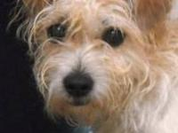 Terrier - Baby Ruth - Small - Adult - Female - Dog