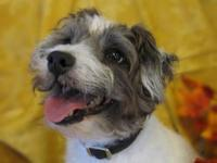 Terrier - Benson - Small - Adult - Male - Dog Benson is