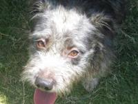 Terrier - Binji - Medium - Adult - Male - Dog Benji is
