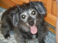 Terrier - Black - Small - Adult - Female - Dog Meet