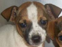 Terrier - Dottie - Medium - Baby - Female - Dog I