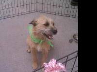 Terrier - Dottie Scp - Medium - Adult - Female - Dog