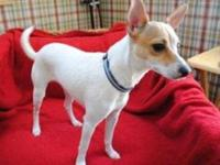 Terrier - Duchess - Small - Adult - Female - Dog Hello,