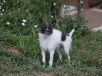 Terrier - Franklin - Small - Adult - Male - Dog