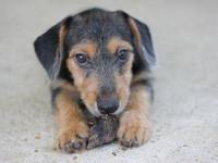 Terrier - Fred - Small - Young - Male - Dog Fred is an
