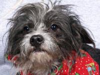 Terrier - George - Small - Adult - Male - Dog George is
