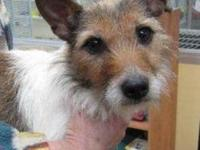 Terrier - Gracie - Small - Young - Female - Dog JUST