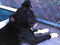 Terrier - Gypsy - Medium - Baby - Female - Dog Gypsy is