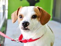 Terrier - Kevin - Small - Adult - Male - Dog