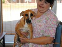 Terrier - Lemon - Small - Adult - Male - Dog 10/24:
